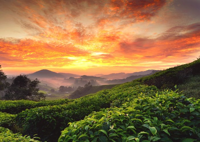 beautiful moment during sunrise at tea farm. dramatic clouds. yellow color on the sky.image taken at cameron highland,Malaysia